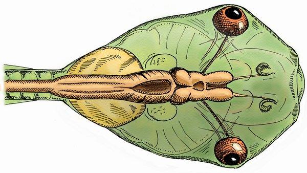 Stage 48, Xenopus laevis tadpole. (A. Khakhalin)