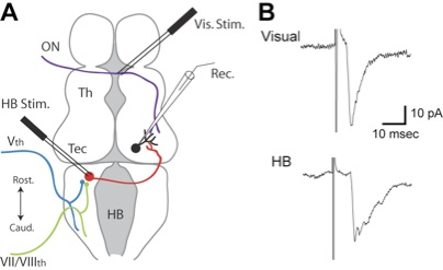 Isolated brain preparation for studying multisensory integration. (A) Schematic representation of placement of recording and stimulating electrodes. Principal visual and mechanosensory nerves are represented. (B) Evoked synaptic responses from visual (V) and mechanosensory (HB) pathways. Modified from Deeg et al. 2009.