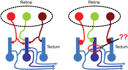 Schematic showing possible consequences of refinemnt of retinotectal inputs vs. intra-tectal circuitry.