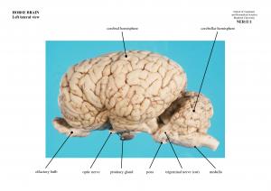 horse brain