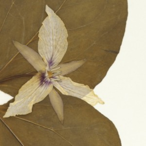 Trillium erythrocarpum, collected by Miss Lena E. Stone, May 10, 1900, from Attleboro, MA