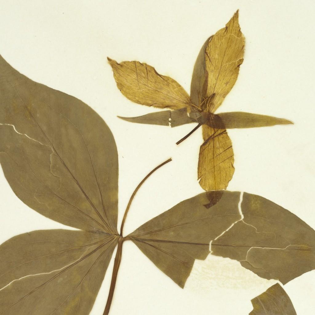 Trillium grandiflorum, collected in Penn Yan, by H. P. Sartwell, New York